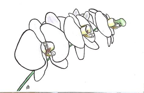 simple orchid drawing orchids a gift ink sketch the mad scientist s