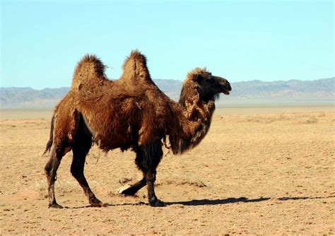 il cammello e il dromedario testo cammelli dei patriarchi un anacronismo lacooltura