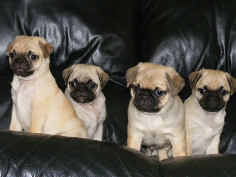 pugs look like gorgeous 3 4 pugs that look like pugs cobham surrey pets4homes