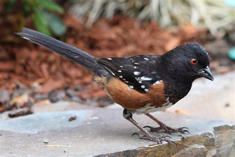 spotted towhee ebirdr