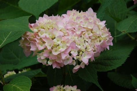 pictures of hydrangea varieties slideshow