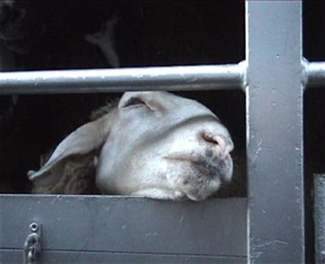 global live animal transport trade | compassion in world