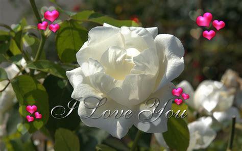wallpaper flower white rose love birds pigeons pakistan best white rose flowers wallpapers