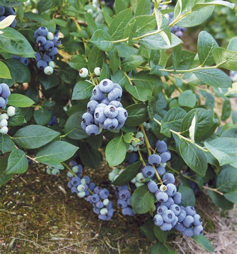 Blueberry Shelf by Top Shelf Blueberries Fall Creek Nursery Plants