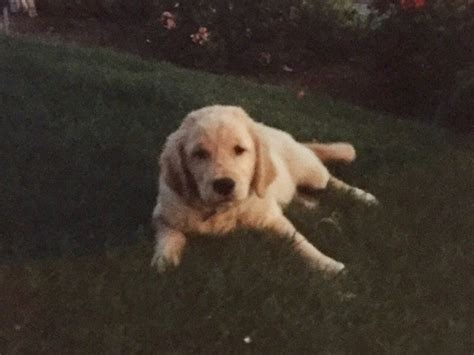 jake the golden retriever new study finds that tweens would much rather hang out with their pets than their siblings