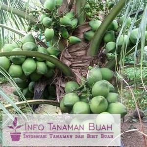 Bibit Kelapa Entok bibit kelapa entok jenis kelapa dengan pohon pendek dan