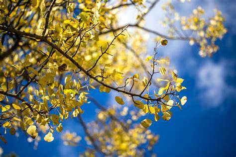 fileyellow aspen leaves blue sky fall colors  rocky