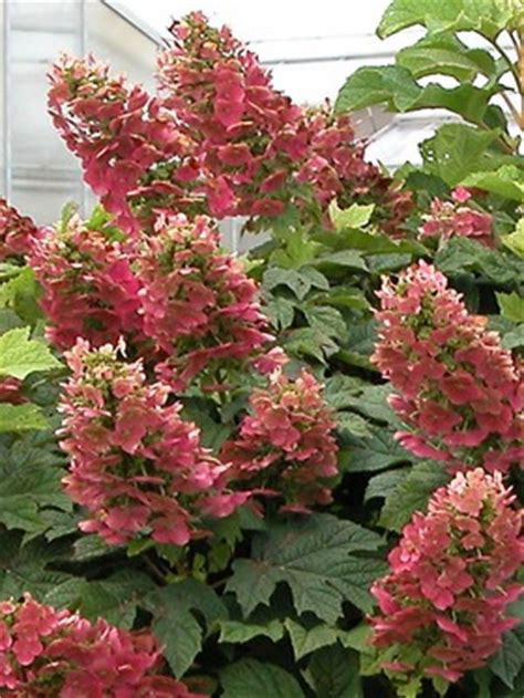 Hortensie Wims by Hydrangea Ruby Slippers Bluestone Perennials