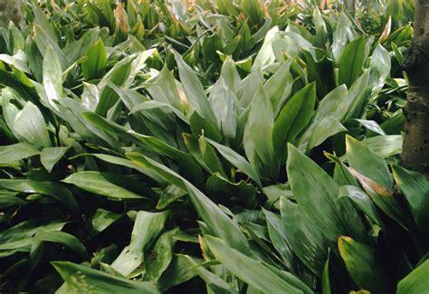 aspidistra elatior aspidistra elatior cast iron plant plant photos