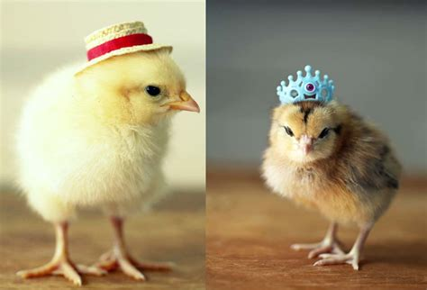 Baby Chicken baby chickens with hats www imgkid the image kid has it