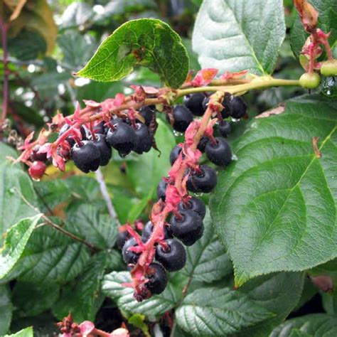 Berries Bc salal berries gaultheria shallon in columbia