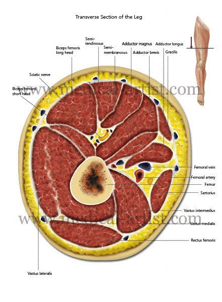 cross section of leg muscle spasticity medical illustrations of the