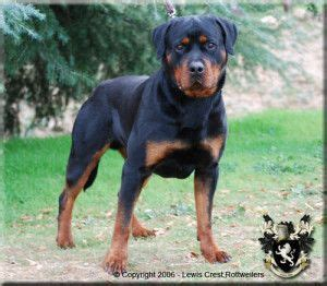 purebred rottweiler puppies for sale in california best 25 rottweiler puppies for sale ideas on rottweiler for sale german
