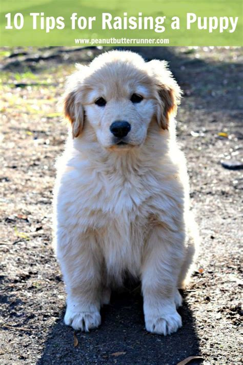raising golden retriever puppies my top 10 tips for raising a golden retriever puppy