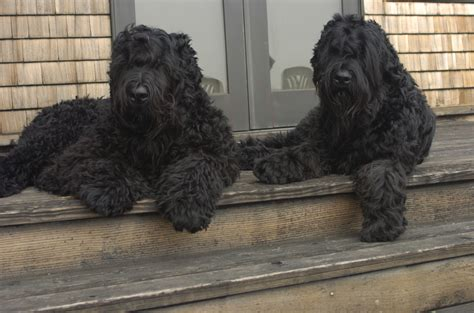 russian dogs two black russian terrier dogs on the porch photo and wallpaper beautiful two black