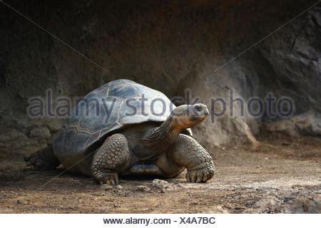wild wildlife galapagos giant tortoise testudo