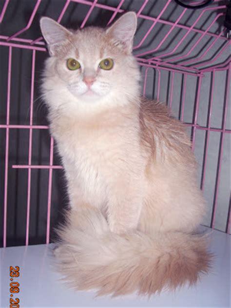 Kucing Anggora Wallpaper Zh Kucing