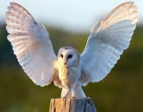 barn oel barn owl dead raptor persecution uk