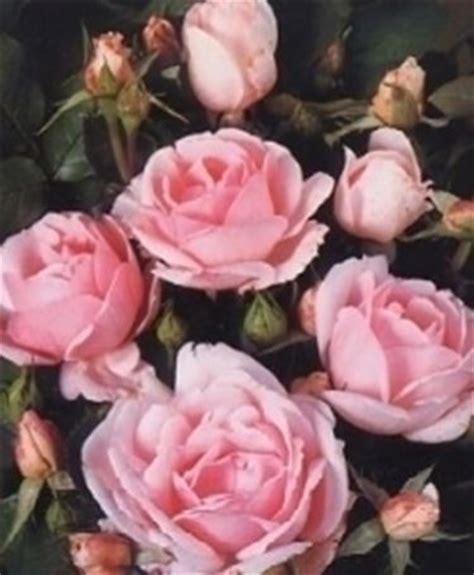 significato dei fiori rosa petali di rosa significato dei fiori