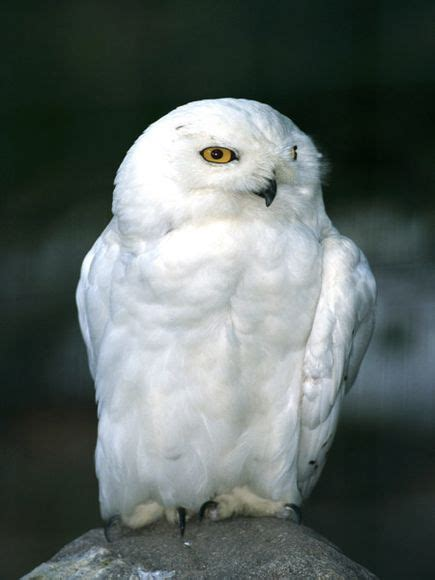 snowy owls snowy owl pictures snowy owl facts national