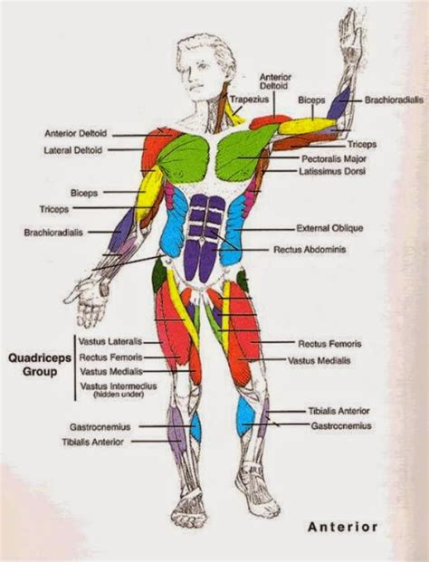 musculoskeletal system diagram diagram of the system defenderauto info