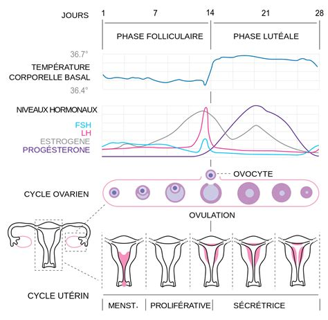 picture shows age lines see description cycle menstruel wikip 233 dia