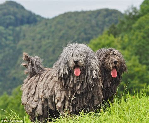 american kennel club breeds american kennel club unveil new breeds including an