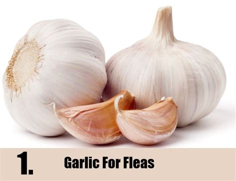 garlic for dogs 7 fleas home remedies treatments cures search home remedy
