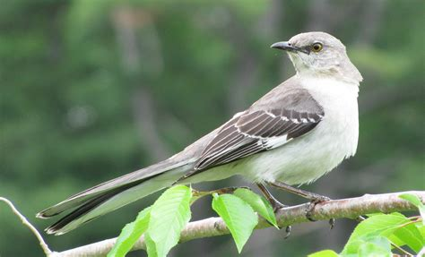 northern mockingbird mimus polyglottos