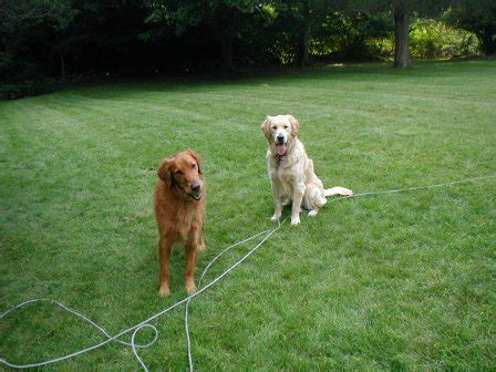 rescue golden retrievers nj golden retriever rescue inc nj newsletter fall 2007letters to breeds picture