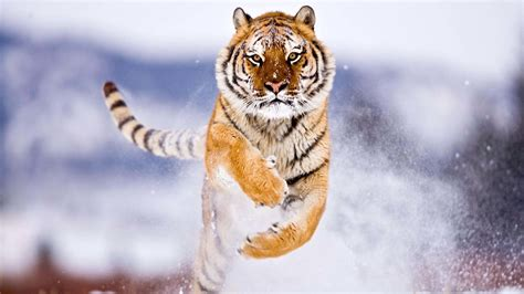 tiger running  snow hd wallpapers