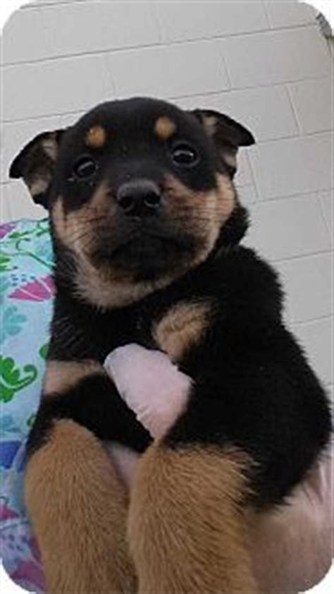 rottweiler malamute mix halifax nc rottweiler alaskan malamute mix meet benny a puppy for adoption http