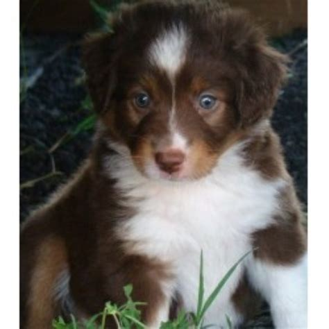 australian shepherd puppies nc free ranch dogs miniature australian shepherd breeder in brenham
