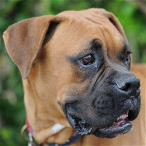 boxer colors fawn about boxers west coast boxer rescue