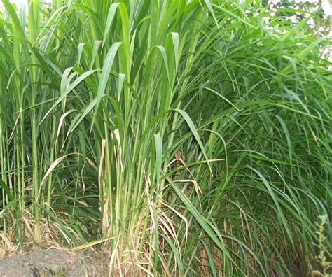 Bibit Rumput Gajah Yang Baik cara menanam budidaya rumput gajah pertanian
