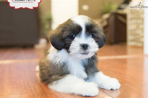 shih poo puppies for sale in va shih poo shihpoo puppy for sale near washington dc 073e18cf a801