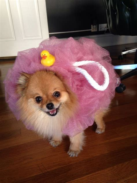 pomeranian costume best 25 pomeranian haircut ideas on