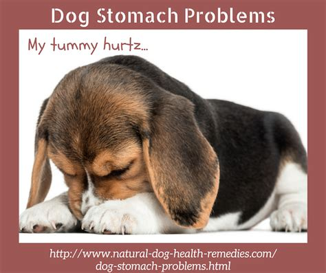 golden retriever stomach problems stomach problems care for upset stomach