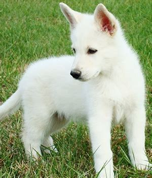 white shepherd puppy 45 beautiful white german shepherd pictures and images