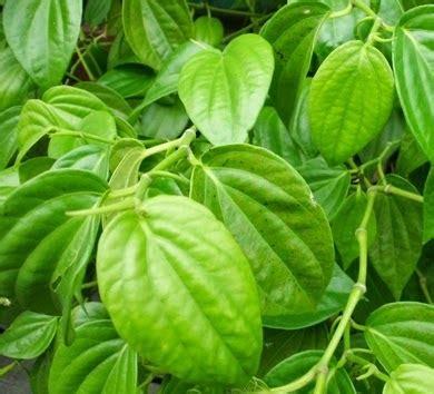 daftar tanaman obat herbal nama lokal latin