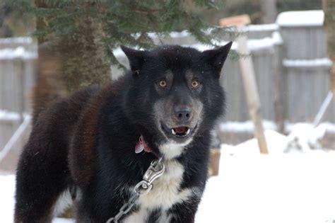 half wolf half rottweiler coyote german shepherd mix