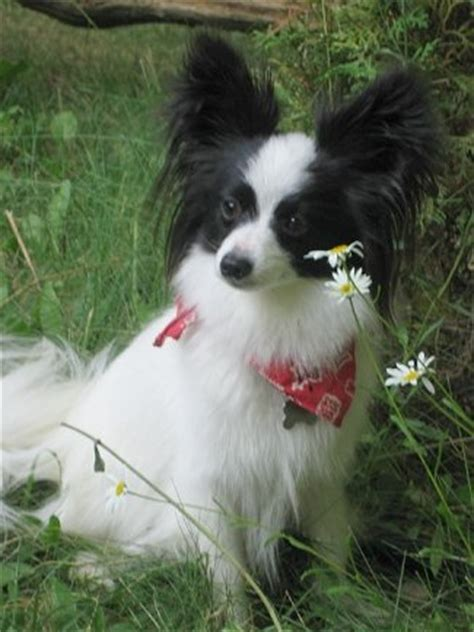 papillon pomeranian mix pictures  images