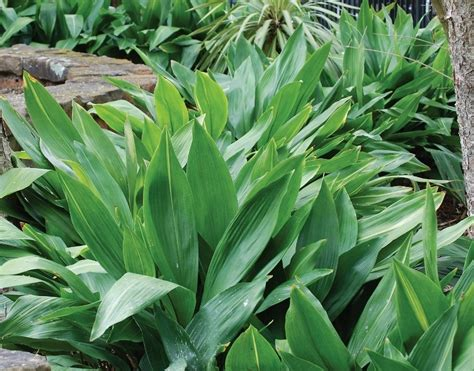 aspidistra elatior aspidistra elatior plantinfo everything and anything