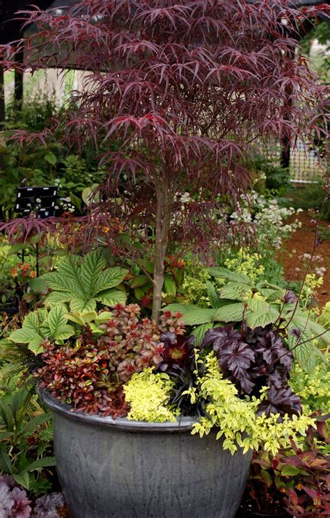 Japanese Container Garden - 99 best images about japanese maple inspiration on pinterest gardens maple bonsai and