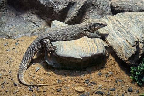 asian water monitor terrarium displays reptile cages