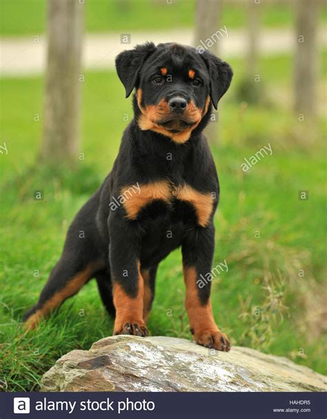 8 week rottweiler puppy rottweiler puppy www pixshark images galleries with a bite