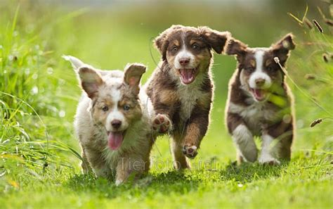 Trio Puppies Socks 17 best ideas about mini aussie shepherd on