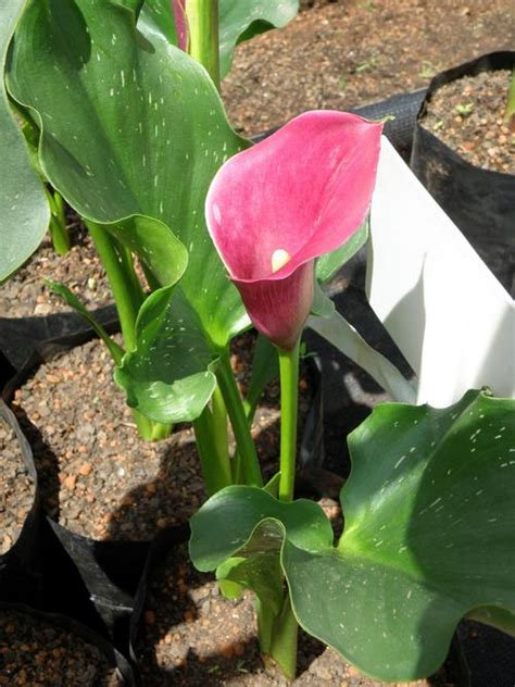 flower bulbs roots corms zantedeschia calla varkoor pink persuasion tuber was sold for