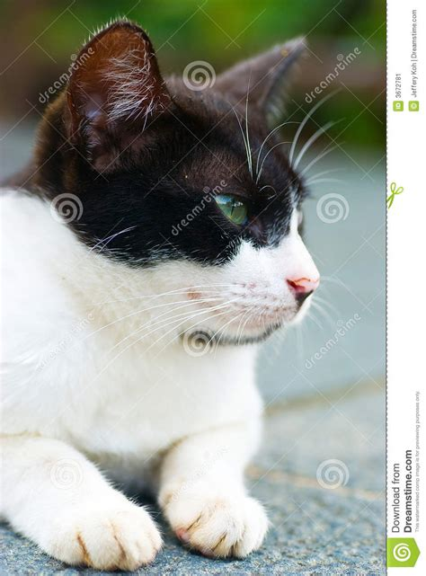 tom cat stock image image  curious whiskers animal