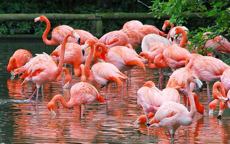 wallpaper flamingos flamingos wallpaper full desktop backgrounds